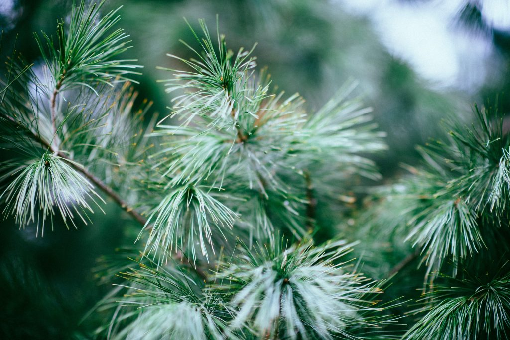 Pine tree in a forest