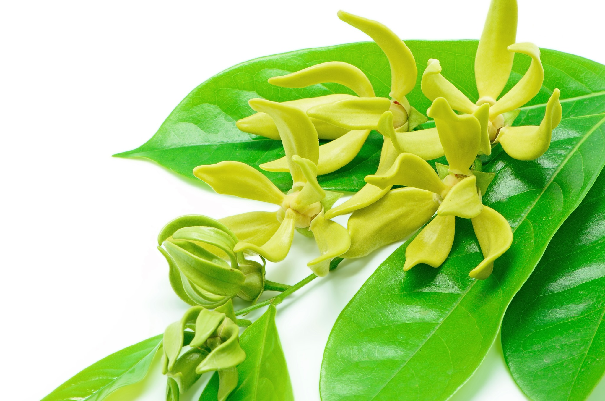 Ylang Ylang Essential Oil Canada Buy Online